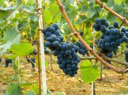 Pinot noir moldova